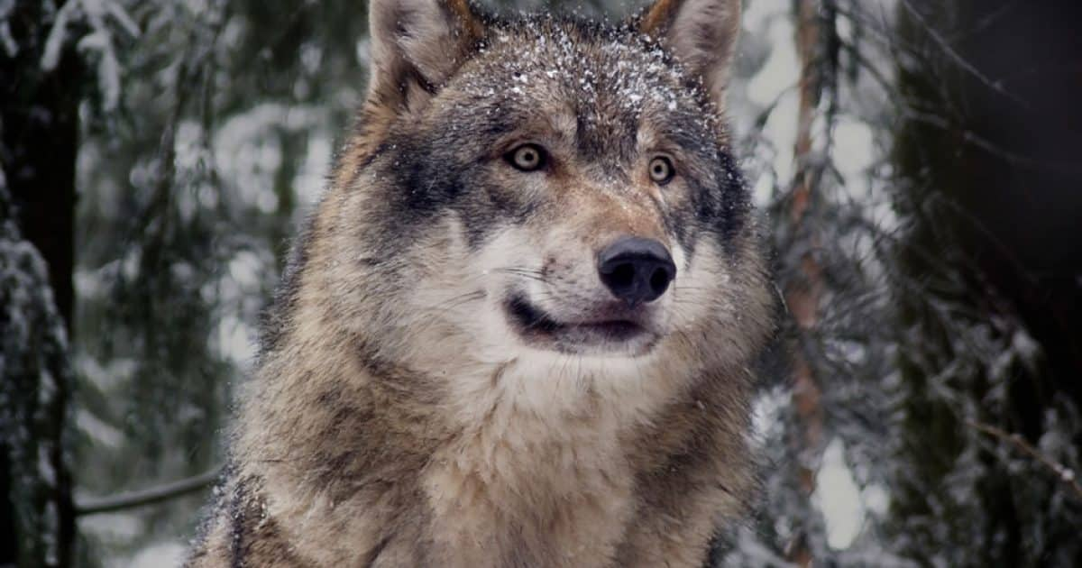 Gray Wolves Spotted in Central California for the First Time in a Century 1