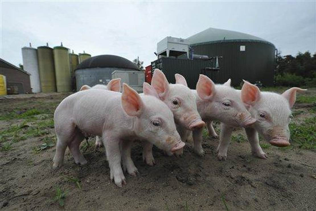 America's Farmers Fight Back Against California's War on Bacon 1